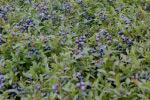 bberrybushpruning_150by100