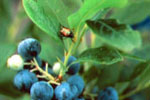 Wild Blueberry Pest Control