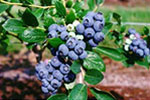 wildblueberries-btn