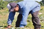 Groundcrop Worker